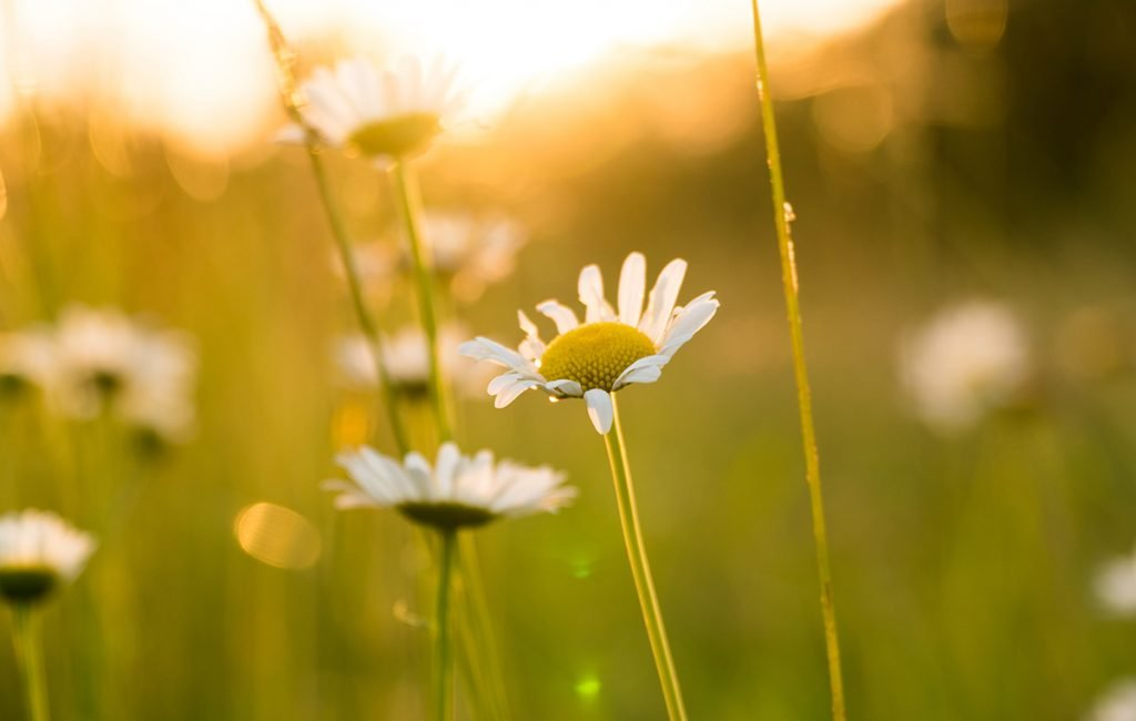 World Photography Day: Zoomed in image of daisies in golden hour
